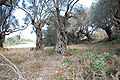 Olea europaea Grove Wardija Ridge Malta 10.jpg