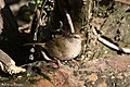 Olive Sparrow National Butterfly Center Mission TX 2018-03-01 16-31-08-2 (26791902078).jpg