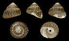Omphalius rusticus 01.JPG