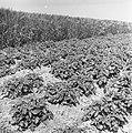 Ontginning, zaaien en oogsten gewassen, beregening, schade, nachtvorst, nop, Bestanddeelnr 160-0228.jpg