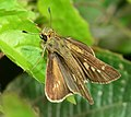 Open wing of Parnara ganga(Evans' Swift) butterfly.jpg