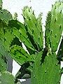 Opuntia cochenillifera (Family Cactaceae) - Phylloclades.jpg
