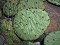 Opuntia humifusa 2017-09-26 4510.jpg