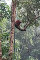 Orang Utan having lunch on a branch (26253412260).jpg