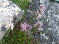 Orchis italica.002 - Serra de Enciña de Lastra.JPG
