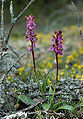 Orchis spitzelii wiki mgk01.jpg