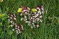 Orchis ustulata PID1077-1.jpg