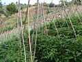 Organic farm in the Philippines - 4 (10711756375).jpg