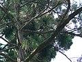 Oriental Magpie with small mammal, Taipei.jpg