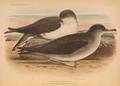 OrnithologiaNeerlandica01Pl87.png