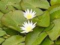 OrtoBotPadova Nymphaea caerulea (cropped).jpg