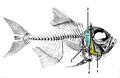 Os operculaires800 x-Beryx decadactylus1.jpg