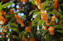 Osmanthus fragrans (orange flowers).jpg