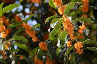 <i>Osmanthus fragrans</i> Species of plant