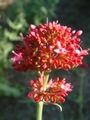 Ostrogowiec czerwony Centharus ruber.jpg