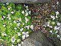 Oxalis acotosella Súrsmæra.jpg