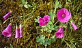 Oxalis arenaria (8659927781).jpg