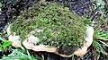 Oxyporus populinus (Schumach.) Donk 560393.jpg