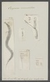 Oxyurus vermicularis - - Print - Iconographia Zoologica - Special Collections University of Amsterdam - UBAINV0274 104 03 0004.tif