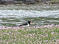 Oystercatcher in the pink - geograph.org.uk - 1337450.jpg