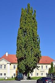 Pöls - Naturdenkmal 748 - Stieleiche am Hauptplatz - 1.jpg