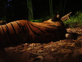 Night Safari, Singapore - A tiger in the Night Safari.