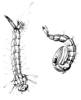 PSM V08 D699 Gnat larvae and nymph.jpg