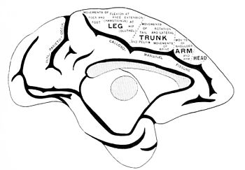 PSM V42 D023 Median surface of the monkey brain.jpg