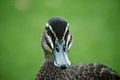 Pacific Black Duck Face.jpg