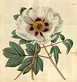 Paeonia × papaveracea Bot. Mag. 47. 2175. 1820..jpg