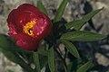 Paeonia officinalis Postojna SI.jpg