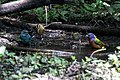 Painted Bunting, Worm-eating Warbler, Tennessee Warbler, Indigo Bunting (bathing) Boy Scout Woods High Island TX 2018-04-11 12-39-58 (26932497437).jpg