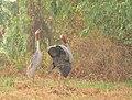 Pair of Eastern Sarus Crane calling, Buriram ,Thailand.jpg