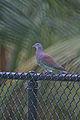 Pale-vented Pigeon.jpg