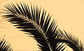 Palm leaf of Phoenix.JPG