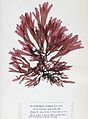 Palmaria palmata 2 Crouan.jpg