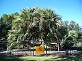 Panama City FL 4 headed butia01.jpg