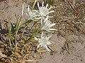 Pancratium maritimum sardinia.JPG