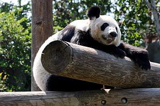 Memphis Zoo - A panda at the Memphis Zoo enjoying the sun.