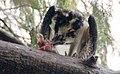 Pandion haliaetus (Osprey) photograph 30.jpg