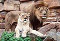 Panthera leo -Fort Worth Zoo, Texas, USA -pair-8a.jpg