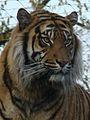 Panthera tigris sumatrae in captivity 03.JPG
