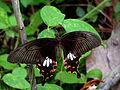 Papilio polytes stichius by kadavoor.jpg