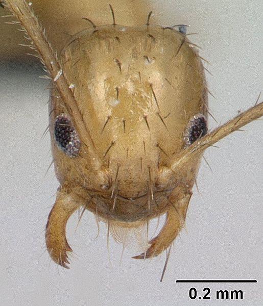 Head view of ant Paratrechina madagascarensis specimen casent0132934.