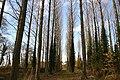 Park Farm poplars - geograph.org.uk - 1055166.jpg