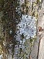 "Parmelia sulcata 145, ""Vazduh koji dišemo"".jpg"
