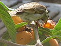 Passer domesticus (female) eating Eriobotrya japonica.jpg