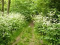 Path inside Bunny Old Wood - geograph.org.uk - 1335534.jpg