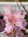 Peach blossoms in Feb.jpg