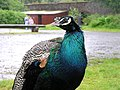 Peacock at Seaforde Gardens and Tropical Butterfly House - geograph.org.uk - 517014.jpg